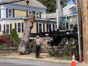 Main Street tree removal