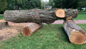 Town Common tree logs
